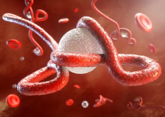 Illustrazione: il virus ebola all'attacco del sistema immunitario.