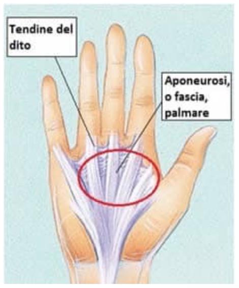 Tendini della mano
